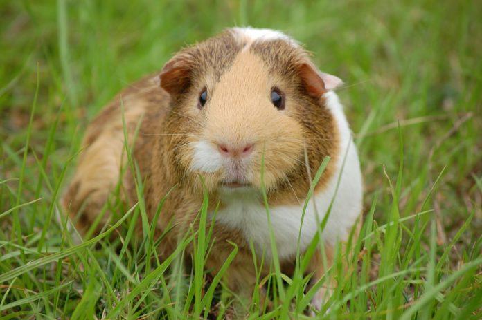 petit rongeur domestique cochon d'inde
