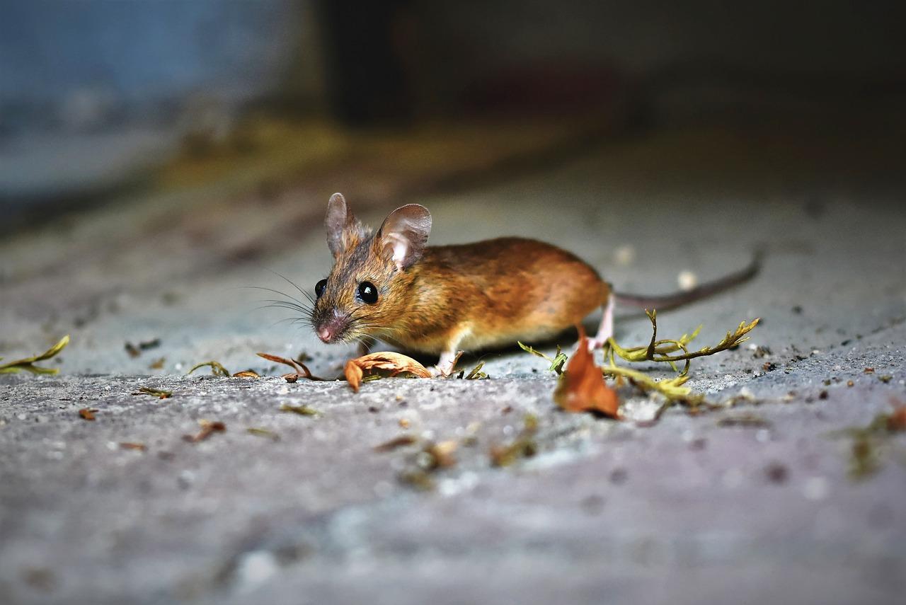Huiles Essentielles Contre Les Souris comment se débarrasser des rats et souris ? - wk-vet.fr