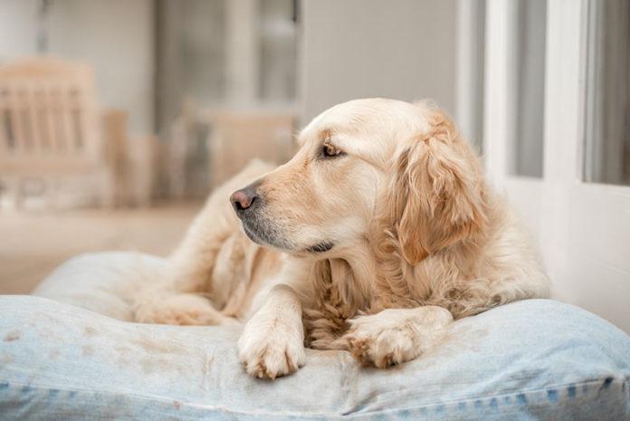 matelas chien