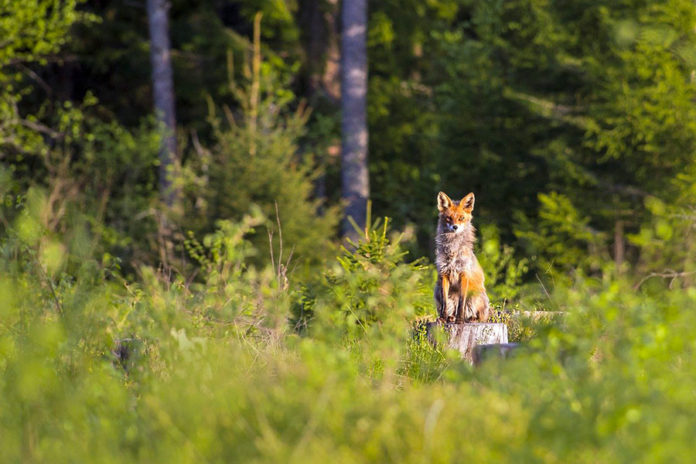 chasse foret renard